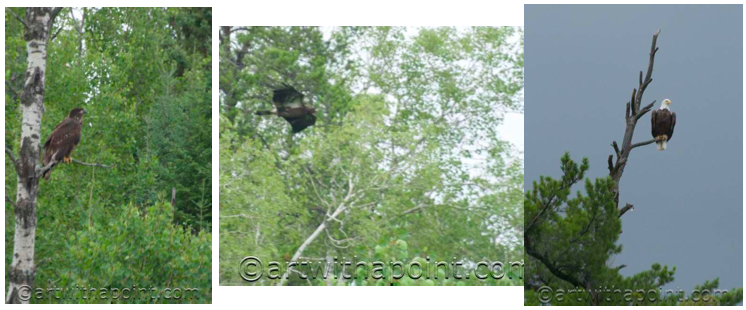 Eaglets taking flight